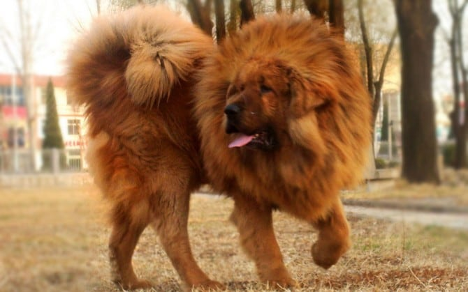 Top  Expensive Dog Breeds