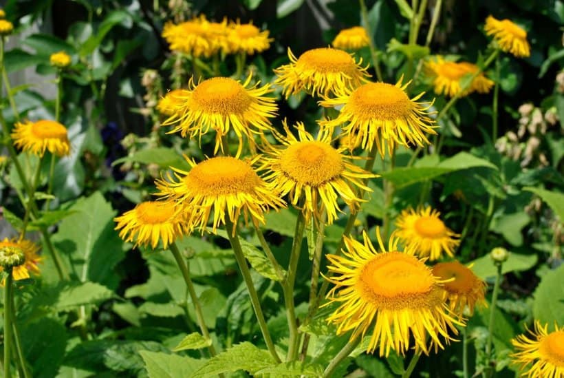 Elecampane Essential Oil