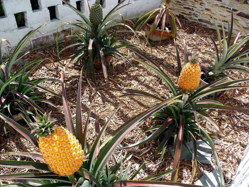 Pineapples from the Lost Gardens of Heligan
