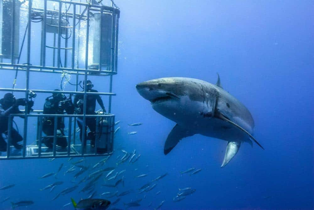 White Shark diving in Cape Town