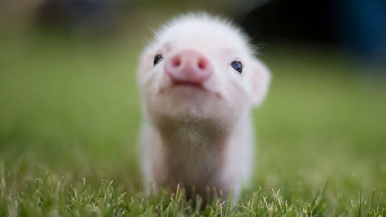 Dwarf Pigs