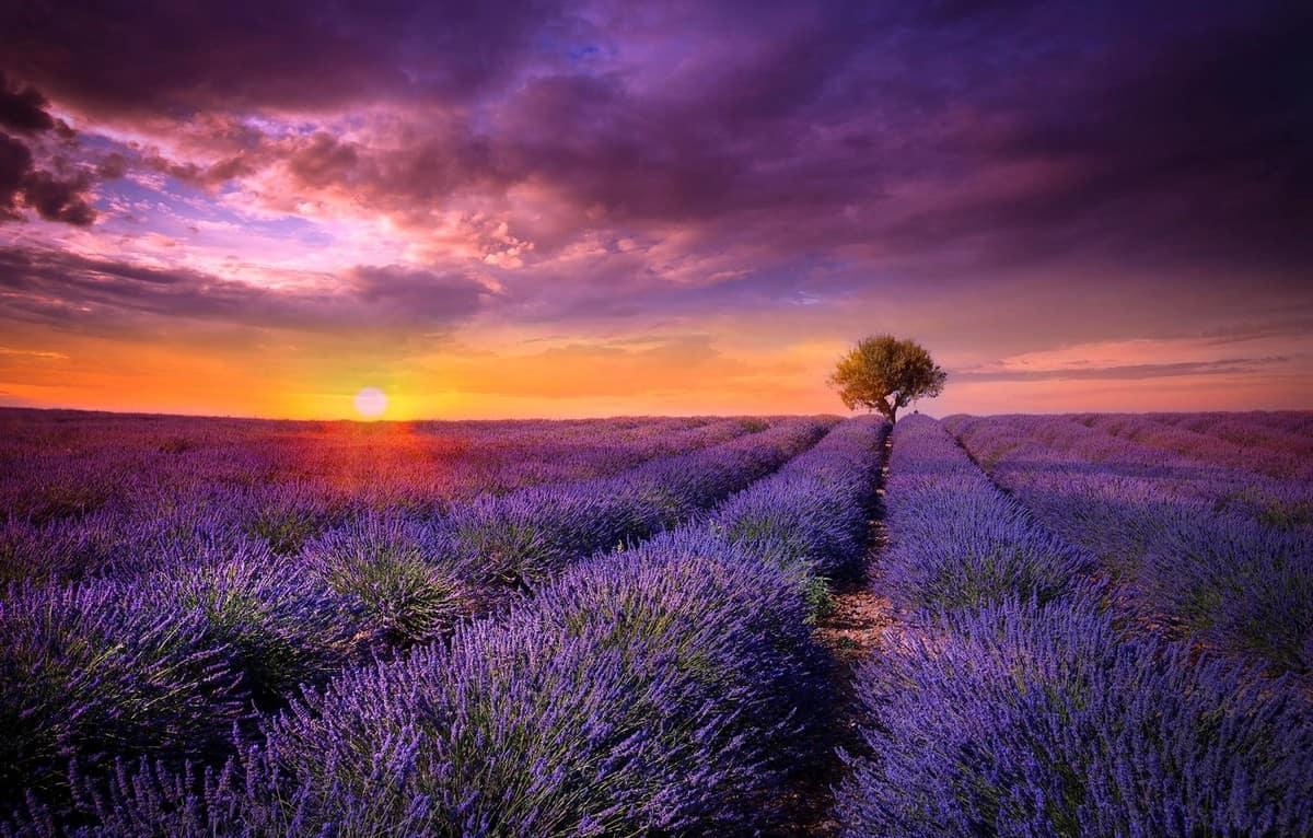 Provence levander
