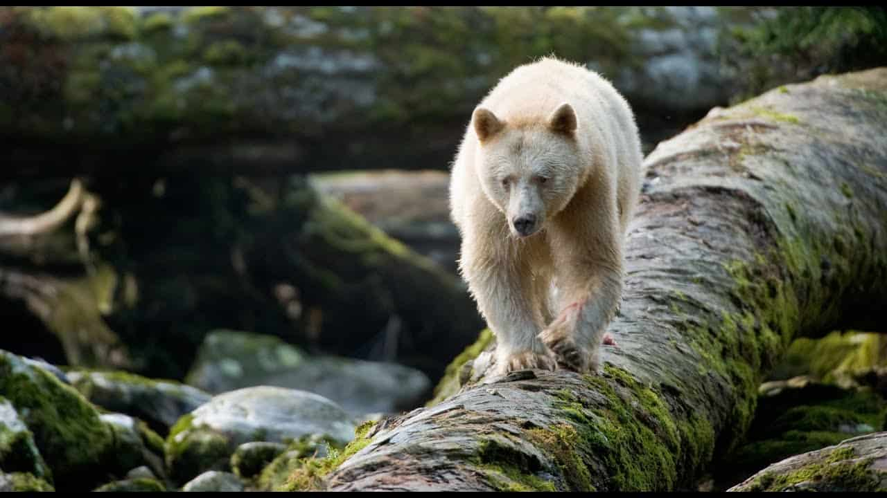 Great Bear Rainforest 2