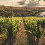 beautiful vineyard